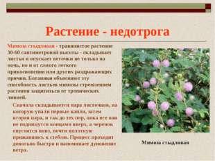 Растение - недотрога Мимоза стыдливая - травянистое растение 30-60 сантиметро