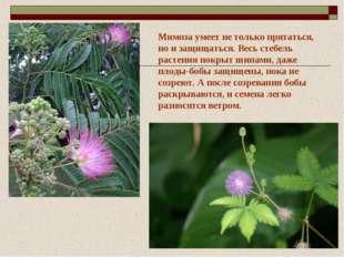 Мимоза умеет не только прятаться, но и защищаться. Весь стебель растения покр