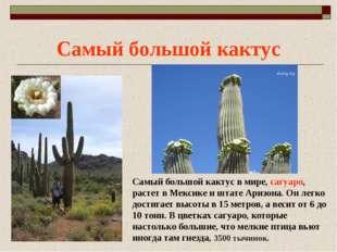 Самый большой кактус Самый большой кактус в мире, сагуаро, растет в Мексике и