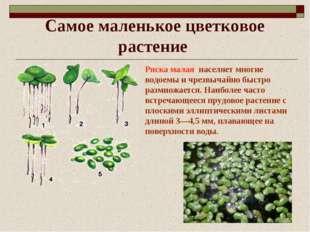 Самое маленькое цветковое растение Ряска малая населяет многие водоемы и чрез