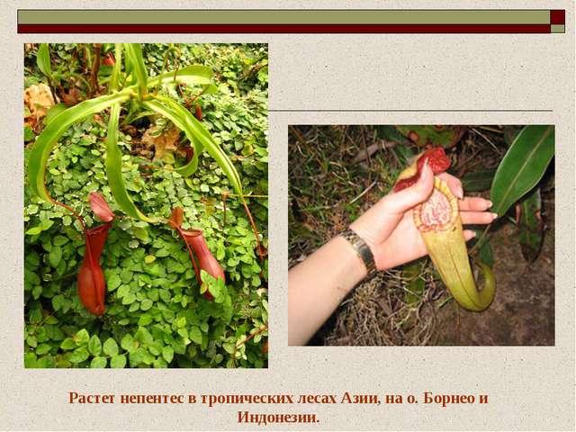 Растет непентес в тропических лесах Азии, на о. Борнео и Индонезии.