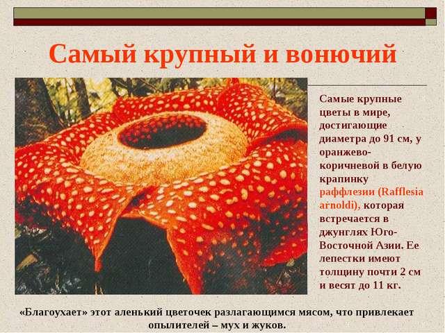 Самый крупный и вонючий Самые крупные цветы в мире, достигающие диаметра до 9...