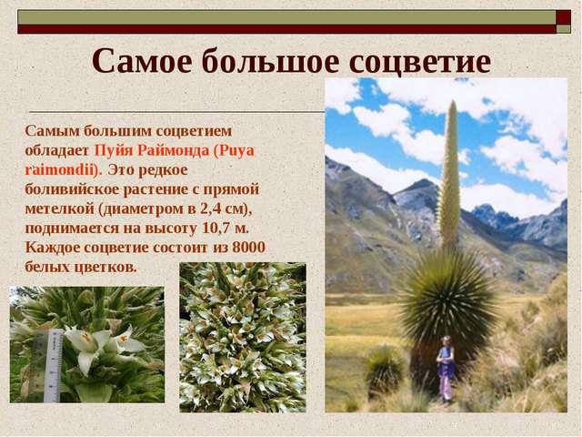 Самое большое соцветие Самым большим соцветием обладает Пуйя Раймонда (Puya r...
