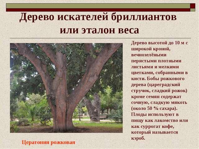 Дерево искателей бриллиантов или эталон веса Цератония рожковая Дерево высото...