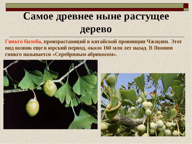 Самое древнее ныне растущее дерево Гинкго билоба, произрастающий в китайской...