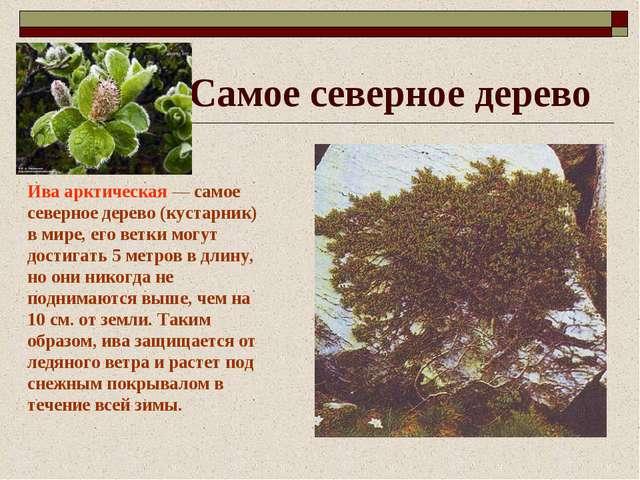Самое северное дерево Ива арктическая — самое северное дерево (кустарник) в м...