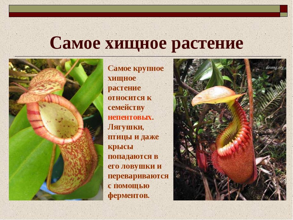 Самое хищное растение Самое крупное хищное растение относится к семейству неп...