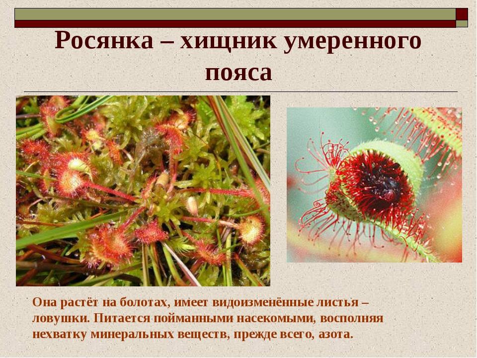 Росянка – хищник умеренного пояса Она растёт на болотах, имеет видоизменённые...