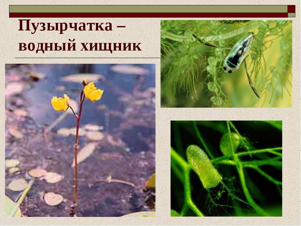 Пузырчатка – водный хищник
