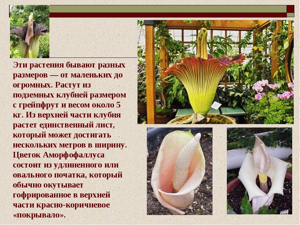 Эти растения бывают разных размеров — от маленьких до огромных. Растут из под...
