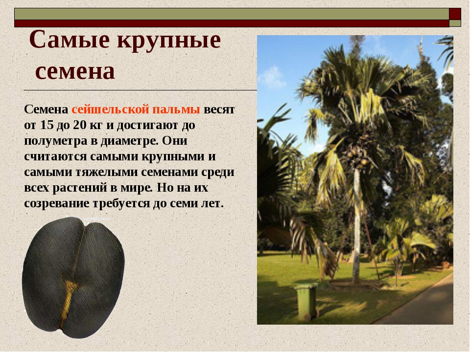 Самые крупные семена Семена сейшельской пальмы весят от 15 до 20 кг и достига...