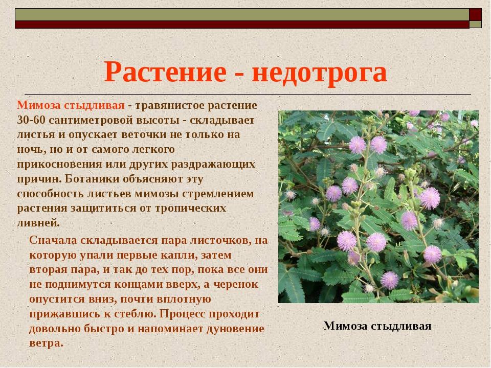 Растение - недотрога Мимоза стыдливая - травянистое растение 30-60 сантиметро...