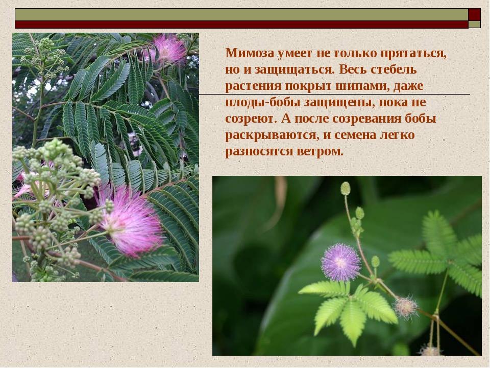 Мимоза умеет не только прятаться, но и защищаться. Весь стебель растения покр...