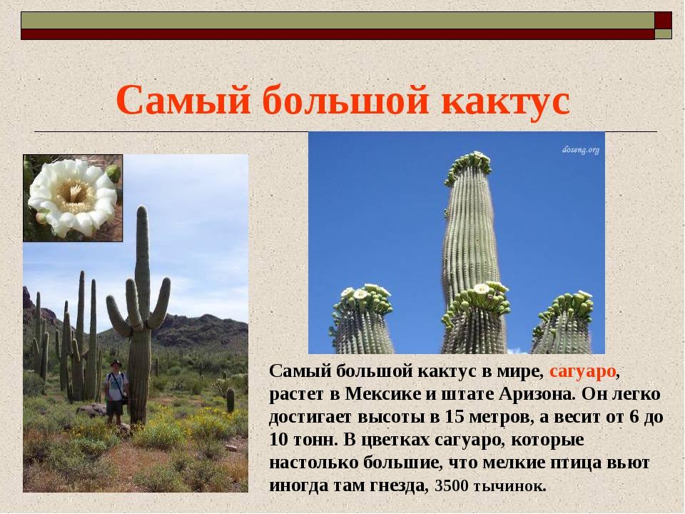 Самый большой кактус Самый большой кактус в мире, сагуаро, растет в Мексике и...
