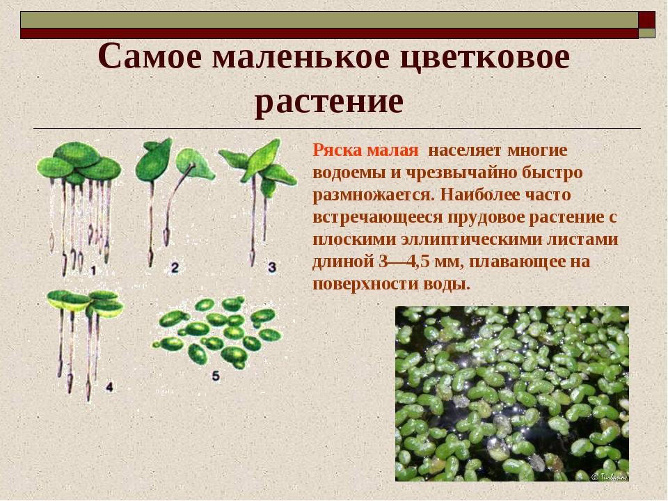 Самое маленькое цветковое растение Ряска малая населяет многие водоемы и чрез...