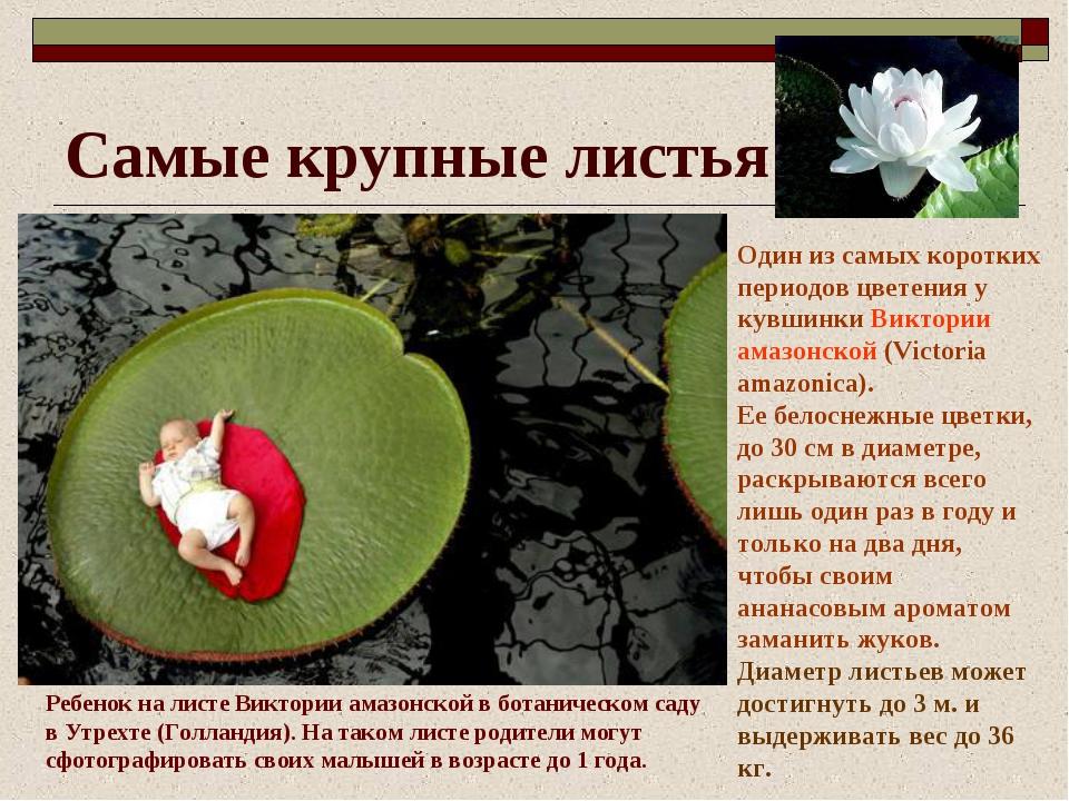 Самые крупные листья Один из самых коротких периодов цветения у кувшинки Викт...