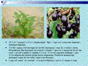 Бұл тұқымдасқа тән өсiмдiктердiң бiрi – қара алқа (паслен черный – Solanum n
