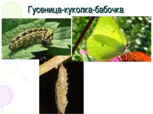 Гусеница-куколка-бабочка