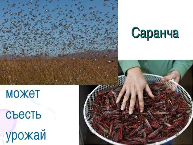 Саранча может съесть урожай