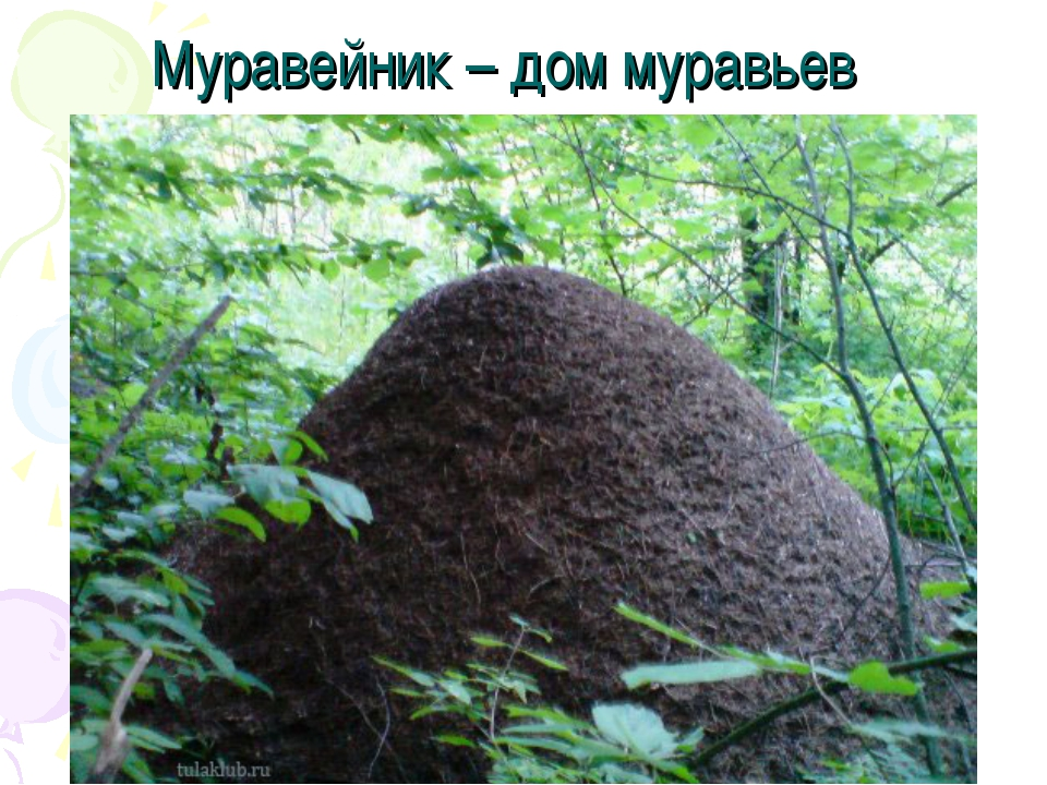 Муравейник – дом муравьев