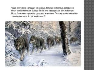 Чаще всего волк нападает на слабых, больных животных, которые не могут сопрот