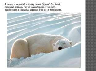 А это что за медведь? И почему он не в берлоге? Это белый, Северный медведь.