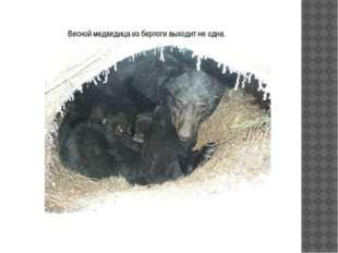 Весной медведица из берлоги выходит не одна.