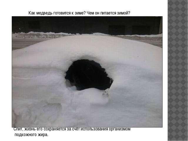 Как медведь готовится к зиме? Чем он питается зимой? Спит, жизнь его сохраняе...