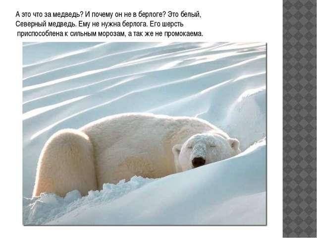 А это что за медведь? И почему он не в берлоге? Это белый, Северный медведь....