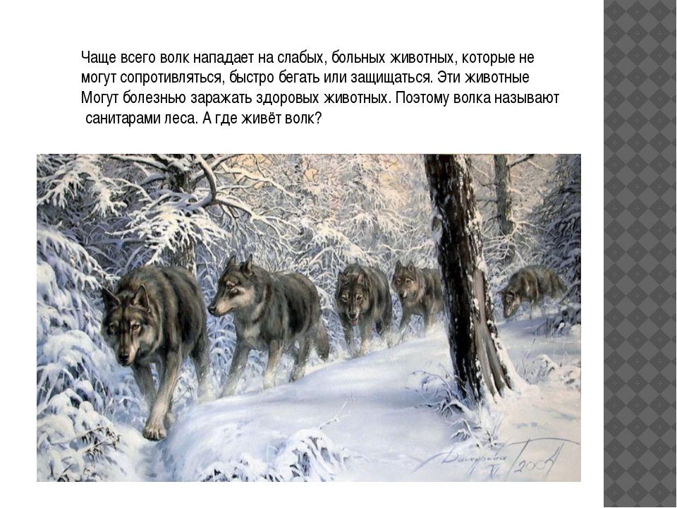 Чаще всего волк нападает на слабых, больных животных, которые не могут сопрот...