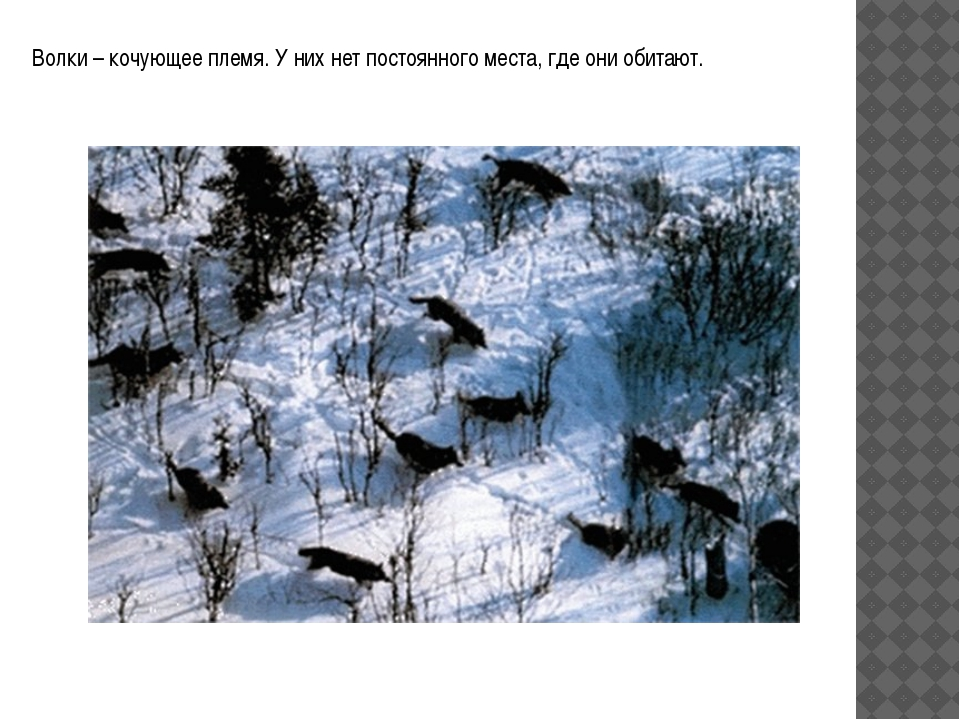 Волки – кочующее племя. У них нет постоянного места, где они обитают.