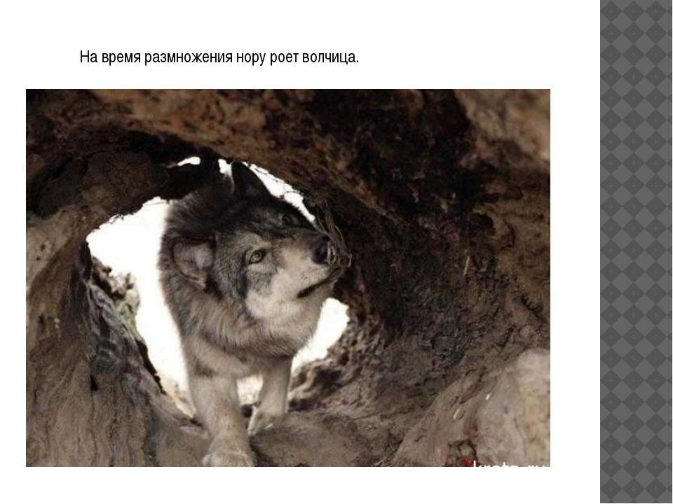 На время размножения нору роет волчица.