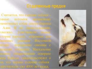 Отдаленные предки Считается, что ездовые собаки – прямые потомки древнейших п