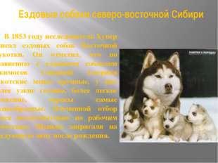 Ездовые собаки северо-восточной Сибири В 1853 году исследователь Хупер описал