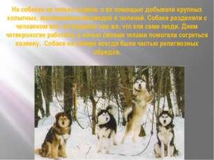 На собаках не только ездили, с их помощью добывали крупных копытных, выслежив