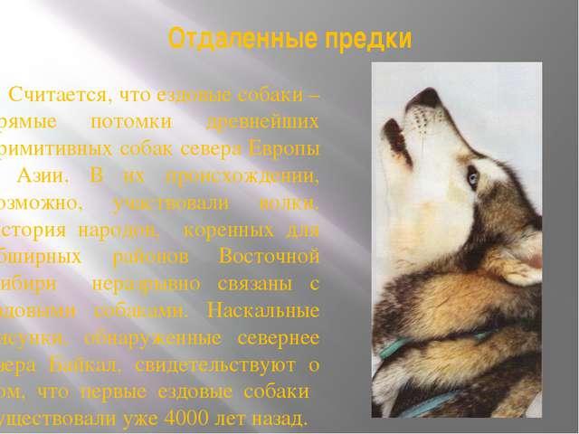 Отдаленные предки Считается, что ездовые собаки – прямые потомки древнейших п...