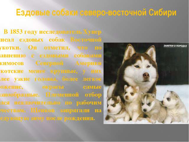 Ездовые собаки северо-восточной Сибири В 1853 году исследователь Хупер описал...