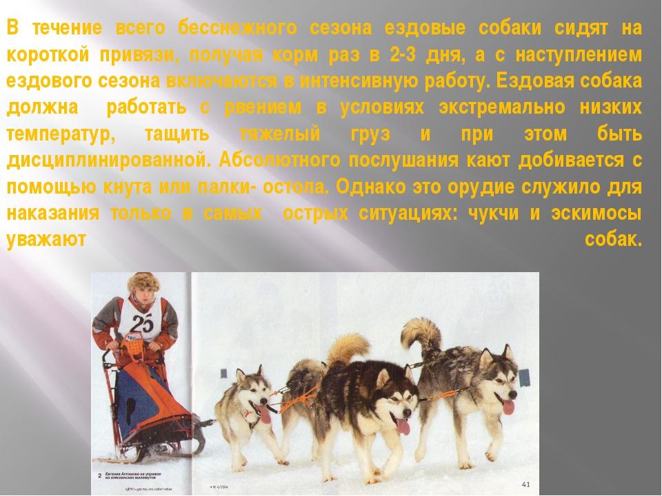 В течение всего бесснежного сезона ездовые собаки сидят на короткой привязи,...