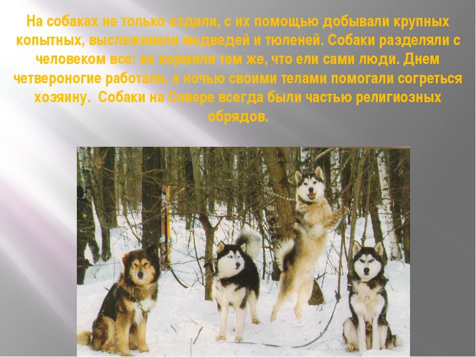 На собаках не только ездили, с их помощью добывали крупных копытных, выслежив...