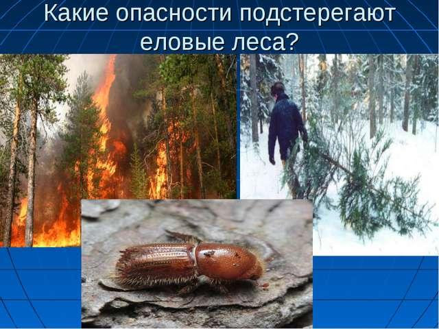 Какие опасности подстерегают еловые леса?