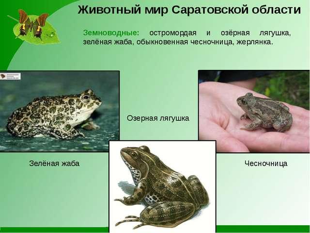 Животный мир Саратовской области Земноводные: остромордая и озёрная лягушка,...