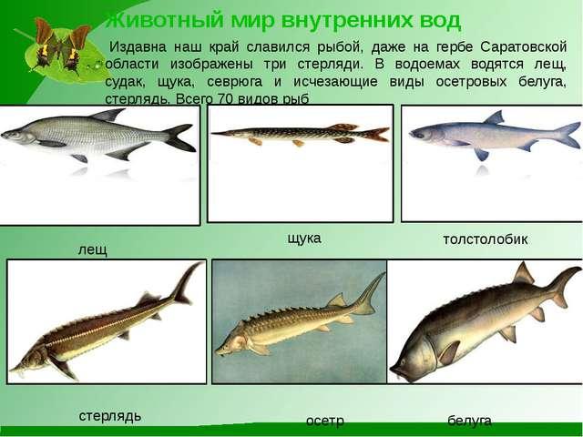 Животный мир внутренних вод Издавна наш край славился рыбой, даже на гербе С...