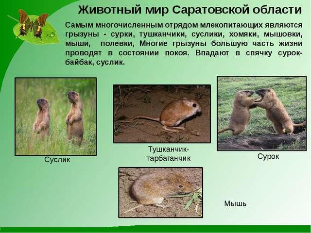 Самым многочисленным отрядом млекопитающих являются грызуны - сурки, тушканчи...