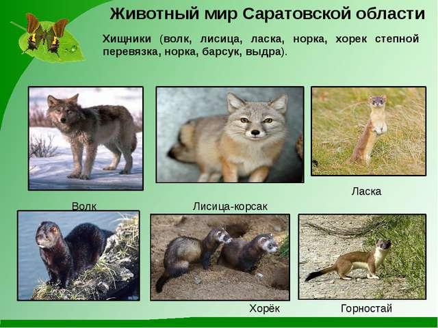 Лисица-корсак Волк Хищники (волк, лисица, ласка, норка, хорек степной перевяз...