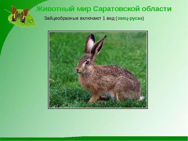 Животный мир Саратовской области Зайцеобразные включают 1 вид (заяц-русак)