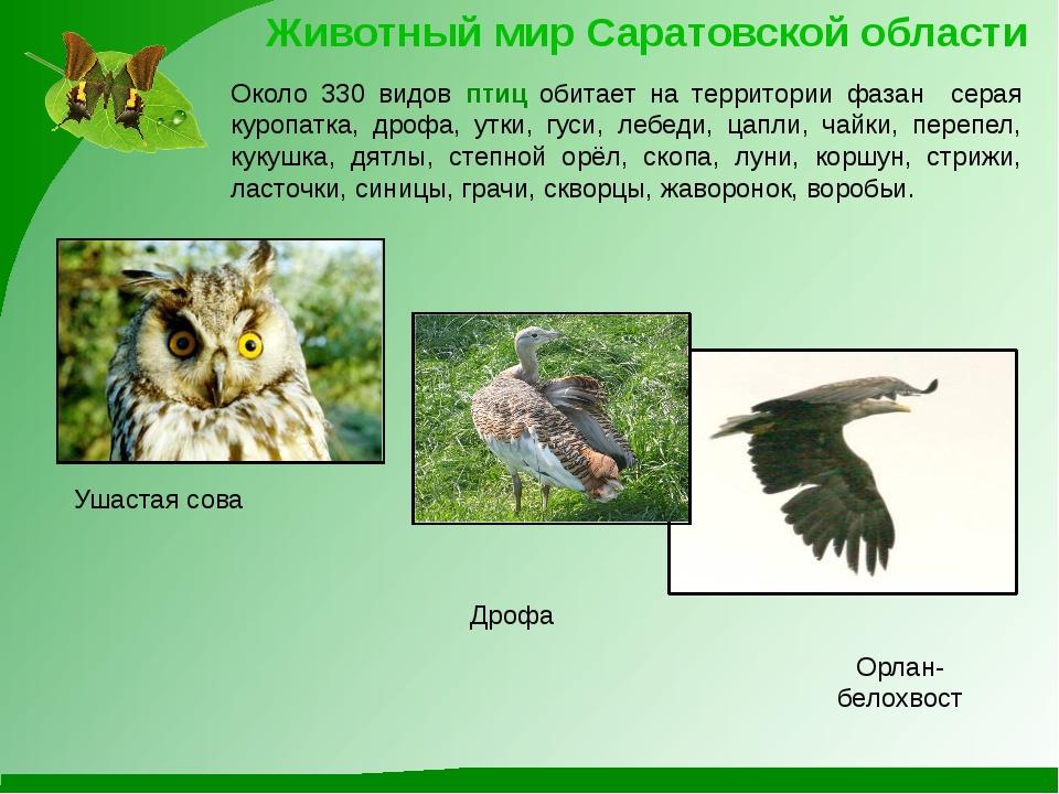Ушастая сова Орлан-белохвост Животный мир Саратовской области Около 330 видов...