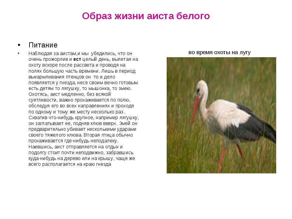 Образ жизни аиста белого во время охоты на лугу Питание Наблюдая за аистам,и...