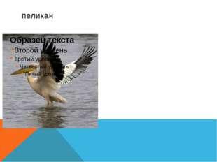 Пеликаны— обитатели морских мелководий, неглубоких пресных и солёных озёр, у