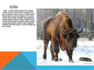 Зубр – самое крупное животное в нашей стране. Его вес около 900 кг, с длиной