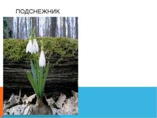 Многолетнее растение до 30см высоты Листья узкие, цветки белые. Цветет в фев